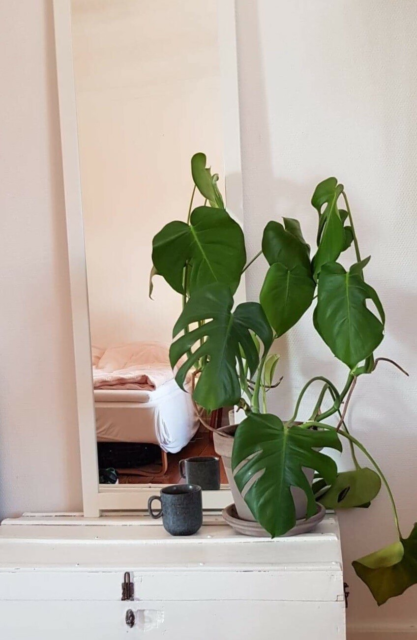 STORE MONSTERA I LERPOTTE MED UNDERSKÅL, Monstera…