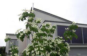 Cornus-kousa-chinensis-weisser-Blumenhartriegel-200cm