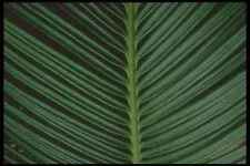 318036 Cycad Fan A4 Photo Print