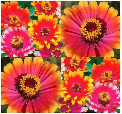 CARROUSEL ZINNIA FLOWER SEEDS - Whirligig - Bright Colors Festive Patterns - A++