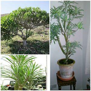 Kleinia neriifolia rara planta de interior bonsai suculenta crece como un rbol semillas ebay - Semillas de interior ...