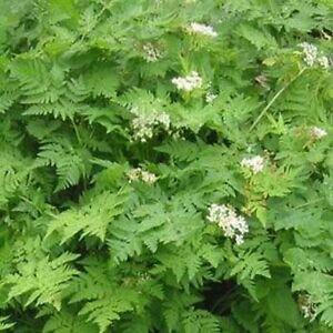 Chervil (anthriscus Cerefolium)- 100 Seeds RéTréCissable