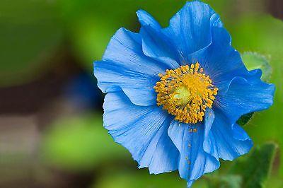 50 graines de pavot bleu de lHimalaya Graines Graines de fleurs