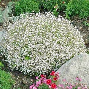 PINK CREEPING BABY/'S BREATH Gypsophila Repens Ground Cover Perennial 200 Seeds