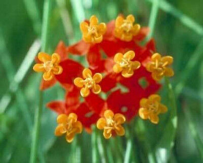 Asclepias curassavica Red Butterflyweed Monarch Host Plants 10 seeds
