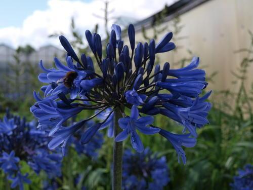 Agapanthus Blue Magic hardy to -23C   garden perennial plant