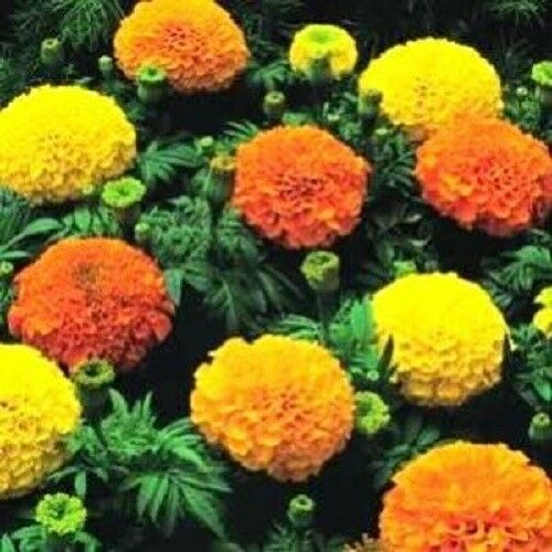250 AFRICAN MARIGOLD CRACKERJACK Mixed Color Tagetes Erecta Flower Seeds *CombSH