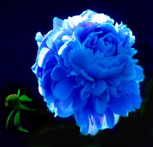 Blue Iris Bulbs Flower Perennial Resistant Fluffy Stunning Bonsai Fragran Plants