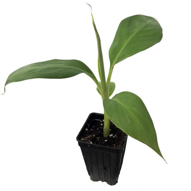 Musa Veinte Cohol Banana Plantain fruit tree Live Plant Tropical