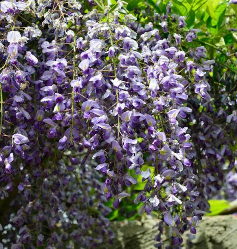 Blauregen 60-80cm Wisteria floribunda