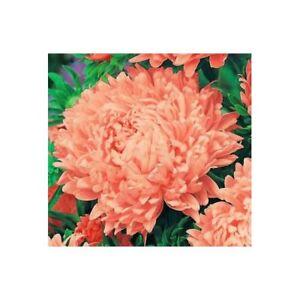 BOGO 50/% off SALE Dark Rose Aster 50 Seeds Gremlin Double
