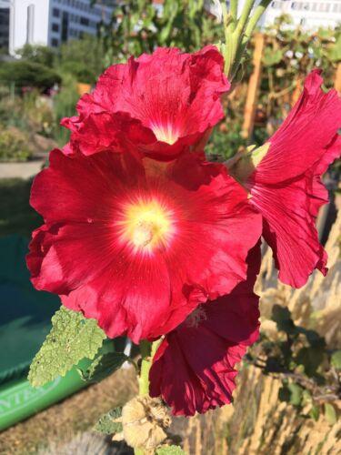 Stockrose rouge graines fixe Bio Semences vieux Historique Variété paysans Jardin sämere