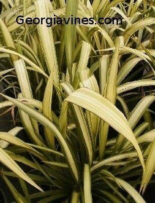 Phormium Yellow Wave New Zealand Flax 10 seeds