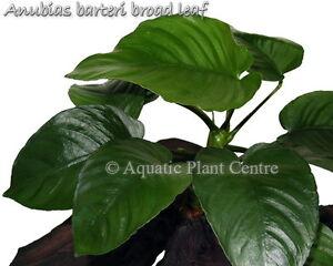 Exotic Live Fresh Water Aquatic Anubias barteri 'broad leaf' Potted Plant P013