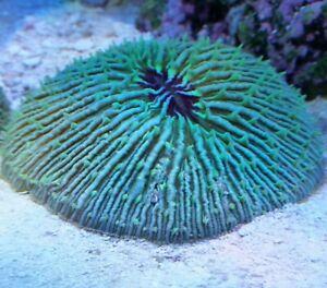 Live-Coral-Robbie-039-s-Coral-Aquacultured-Ultra-Plate-Coral-2-034-21-2-034-SALE-Reg-39-99