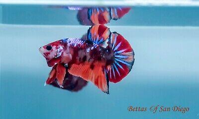 Live Betta Fish Multicolor Galaxy Star Halfmoon Plakat Imported Ebay