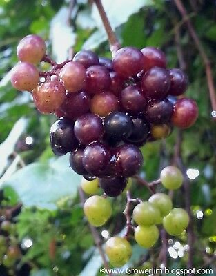 Muscadine Grape   Vitis rotundifolia  Organic   10 Seeds Free Shipping