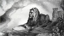 GRAVURE ANCIENNE 19e - LIONS DE L'ATLAS