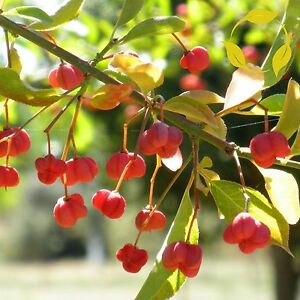 European Spindle Tree Euonymus Europaeus 25 50 Seeds Ebay