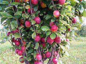 Saeulen-Pflaume-Stela-Saeulenpflaumen-Baum-ca-200-cm-imTopf