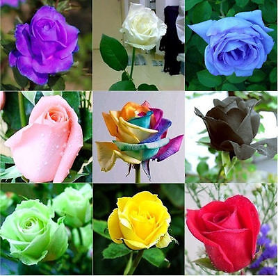 '30 Semi Di Rosa...tanti Colori Scegli Tu Entra. + Regalo Ridurre Il Peso Corporeo E Prolungare La Vita