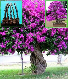 5 gr ne bougainvillea elizabeth angus baum schneiden ebay. Black Bedroom Furniture Sets. Home Design Ideas