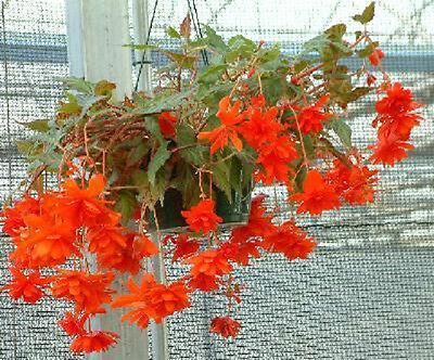 15 Seeds Begonia Trailing Cascade Beauty Scarlet Pelleted Seeds