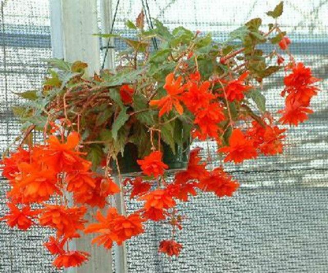 15 Begonia Seeds Trailing Cascade Beauty Scarlet Pelleted Seeds