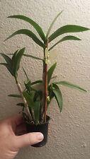 NoID Miniature Dendrobium