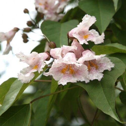 50 Catalpa fargesii Seeds Chinese Bean Tree Seeds
