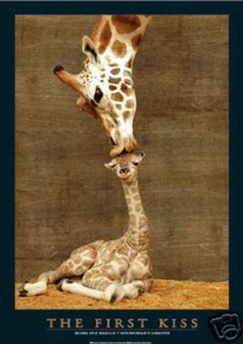 #4111 Giraffe The first kiss Poster 24X36