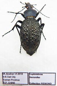 Carabus Coptolabrus Gemmifer (femelle A1) en provenance de Chine (carabidés)
