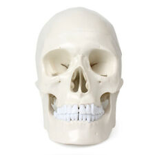 New Listinglife Size Human Anatomical Pvc Resin Head Skeleton Withteeth For Teaching Display