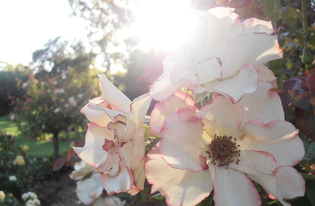 amberswildflowers