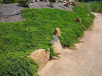 5 Lutchuensis Juniper - Juniperus Taxifolia plants ground cover conifer garden