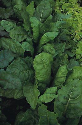Vegetable - Beet Leaf - Perpetual Spinach - 250 Seeds