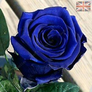 Rare Blue Rose Flower Seeds Garden Plants Uk Seller 10x Viable Seeds Ebay