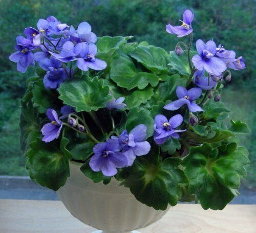 50 Saintpaulia African Violet Flower Seeds Mixed Bonsai Beautiful Plant Garden