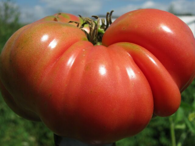Tomato Mortgage Lifter - Drought Tolerant Huge Beefsteak OUTSTANDING FLAVOR