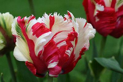 10 x Tulips - ESTELLA RIJNVELDT - Parrot Tulip Bulbs