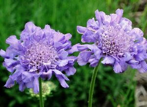 hardy plant 1 litre pot Scabious pincushion Scabiosa columbaria blue note