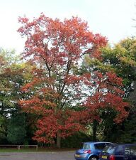 QUERCUS RUBRA- RED OAK seeds  ready to plant. 5 FOR £1.50