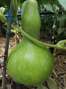 15 Seeds 粉皮冬瓜 Winter Melon Wax Gourd White Gourd Dong Gwa Asian Vegetable