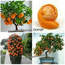 5Pcs Mandarin Orange Bonsai Imported Seeds Good Growing Indian Climate Seeds