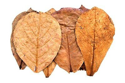 200 Seemandelbaumblätter 10-15cm (0,20€/Stk) Catappa Leaves / Garnelen Futter