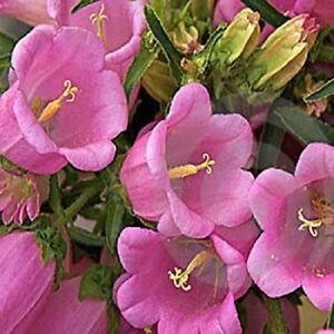 50 pink heirloom campanulacanterbury bells perennial flower seeds image is loading 50 pink heirloom campanula 034 canterbury bells 034 mightylinksfo