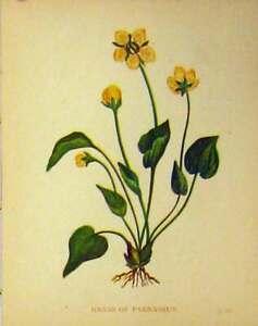 Original-Old-Antique-Print-Grass-Parnassus-Plant-C1880-Colour-Botanical-19th