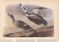 """1942 Vintage AUDUBON BIRDS #301 /""""CANVASBACK DUCK/"""" Color Art Plate Lithograph"""