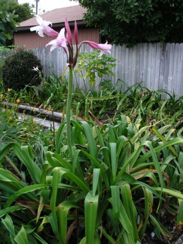 Mexican NEW blooming-size bulb rare Crinum Lily large