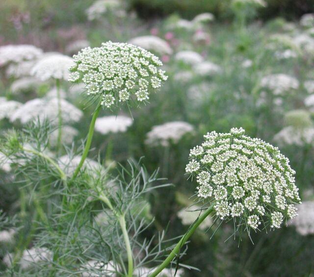 Queen Anne's Lace, 200 seeds (Ammi majus) Flower